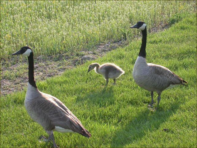 Goose IV