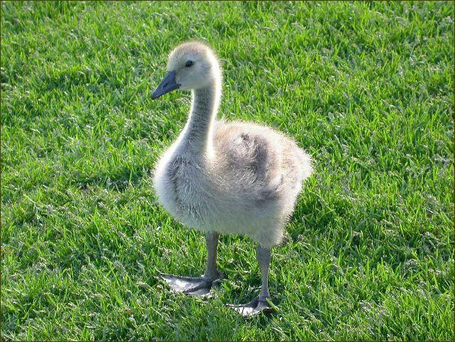 Goose V