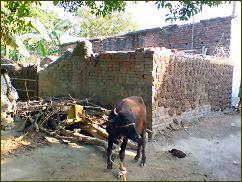 Kuhdung trocknet auf einer Mauer