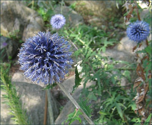 Kugelrunde Blüten