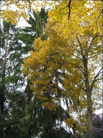 Gelbe Baumpracht, Autumn Colours